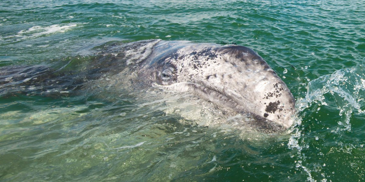 close up of a gray whale in Baja