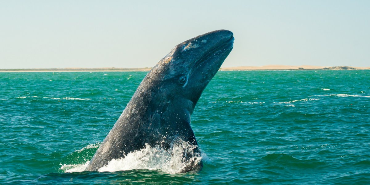 Gray whale breaching the water in Baja California Sur