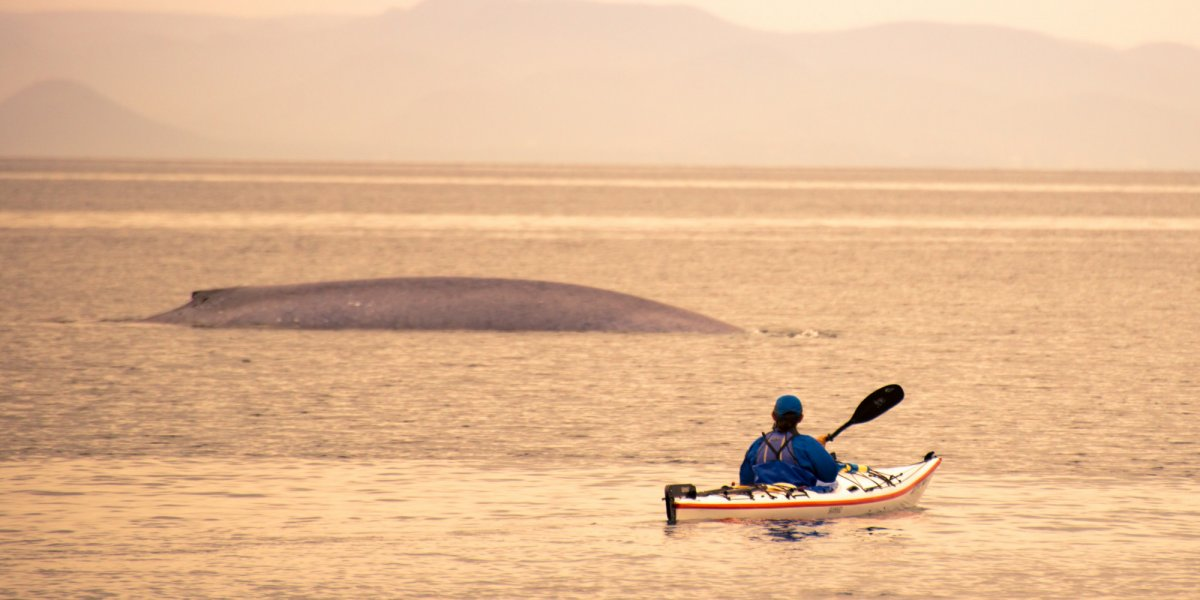 Man kayaking next to whale in Baja California