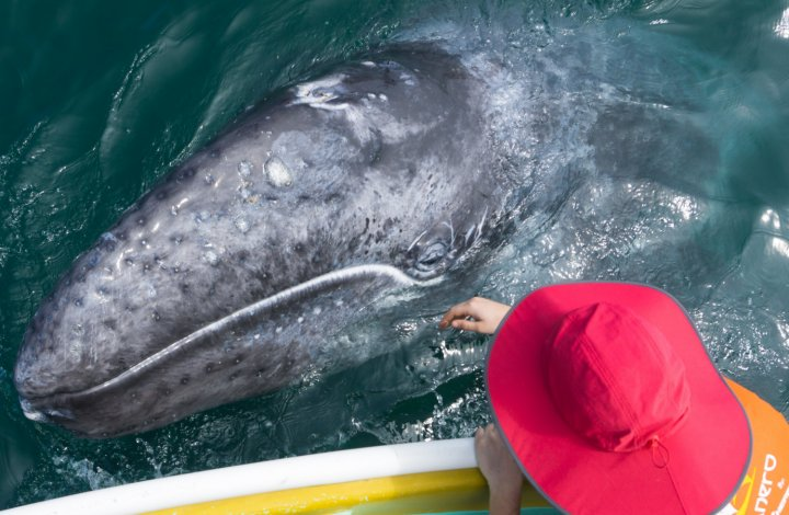 girl touching gray whale baja