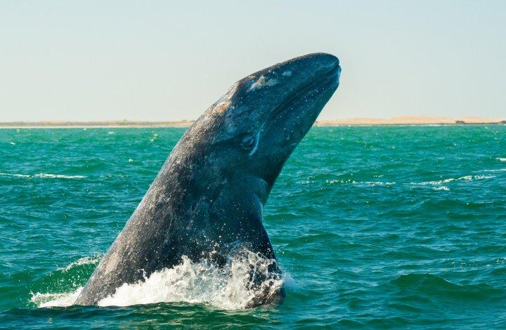 gray whale breaching in baja calving lagoon