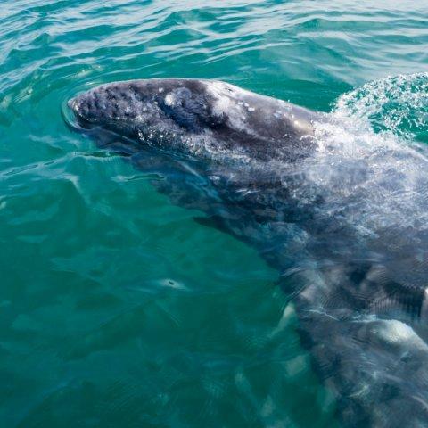 baja gray whale watching