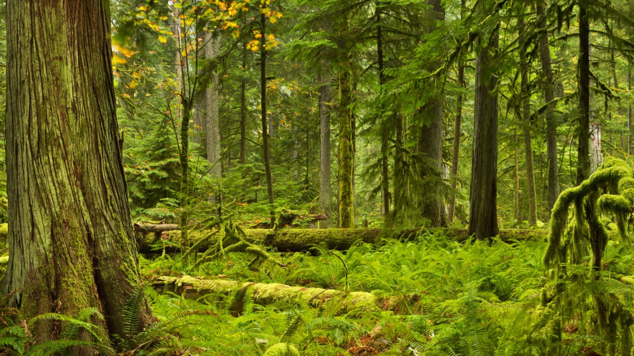 cedar rainforest in british columbia