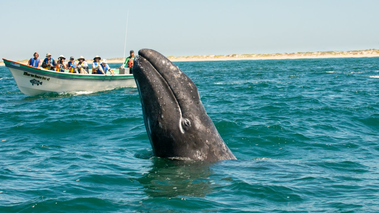 Gray whale watching tours in Baja