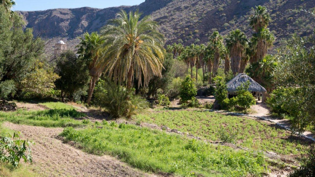 palm oasis in san javier baja