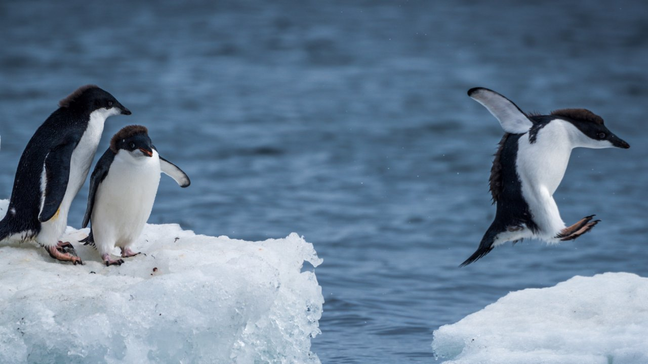 Adelie Penguin jumping between floes