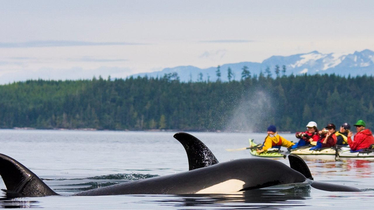 kayak with orcas