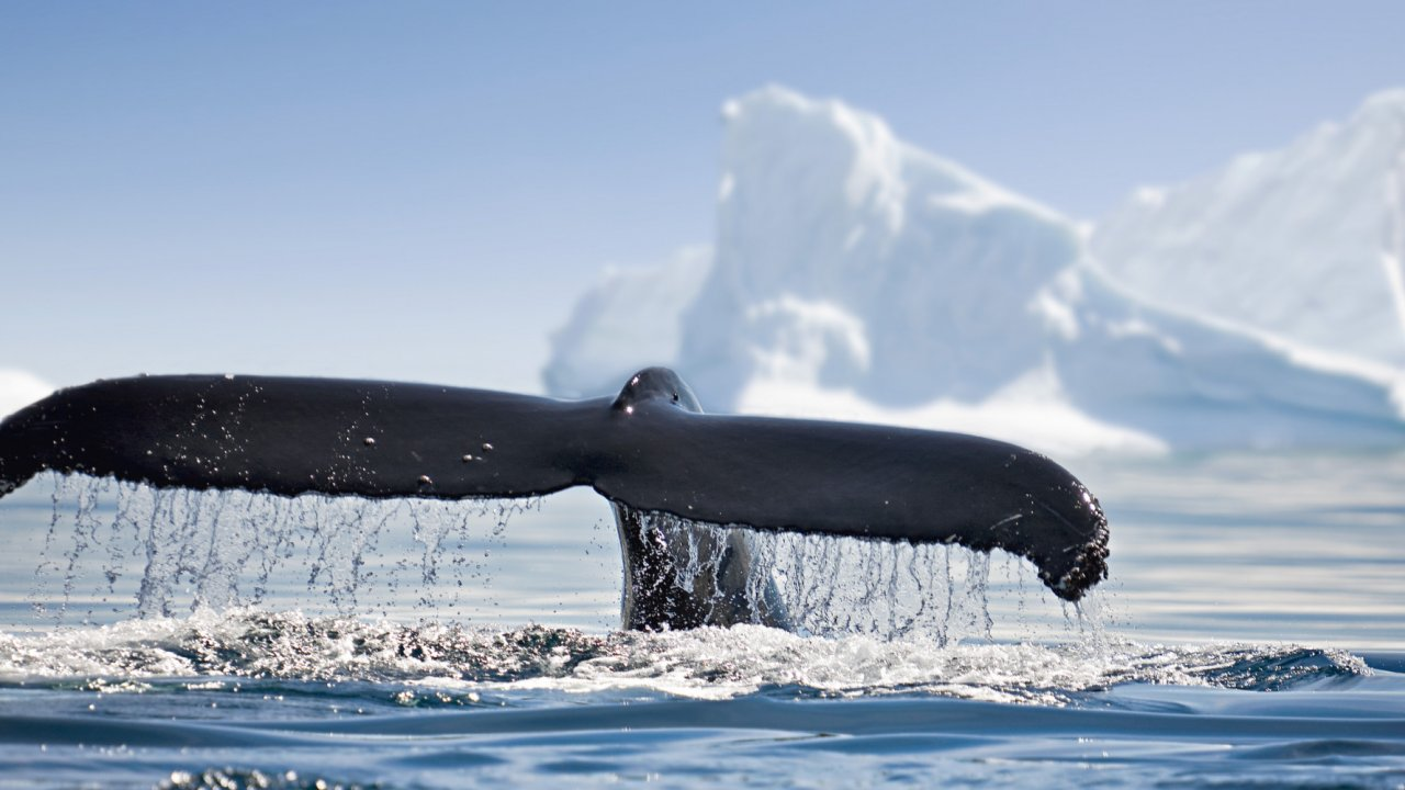 Whale tale in antarctica