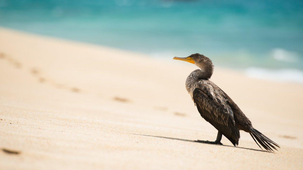 cormorant on baja beach