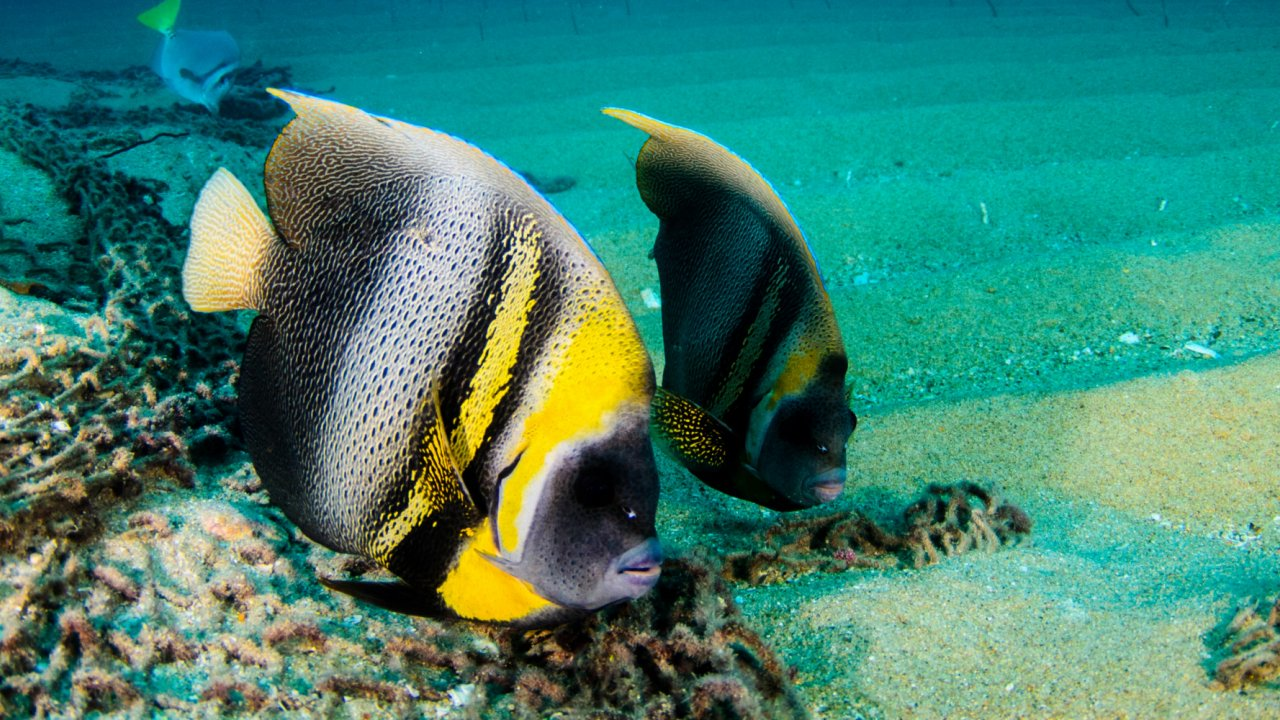 angel fish in sea of cortez, baja