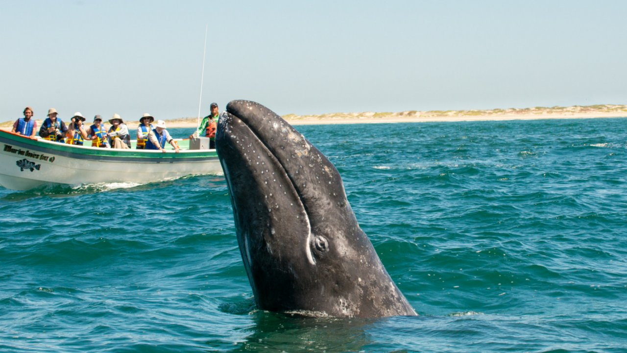 gray whale in magdalena bay