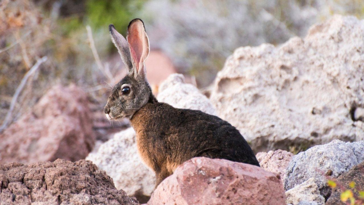 rabbit in baja california