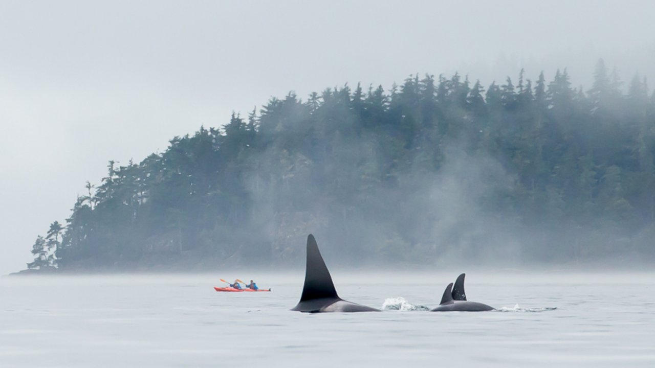 sea kayaks with orcas