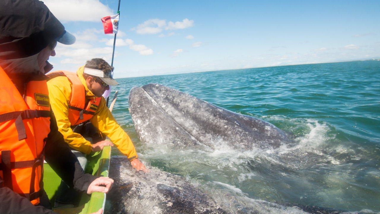 gray whale in san ignacio