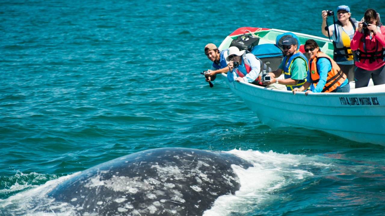whale watchers photographing gray whale in baja