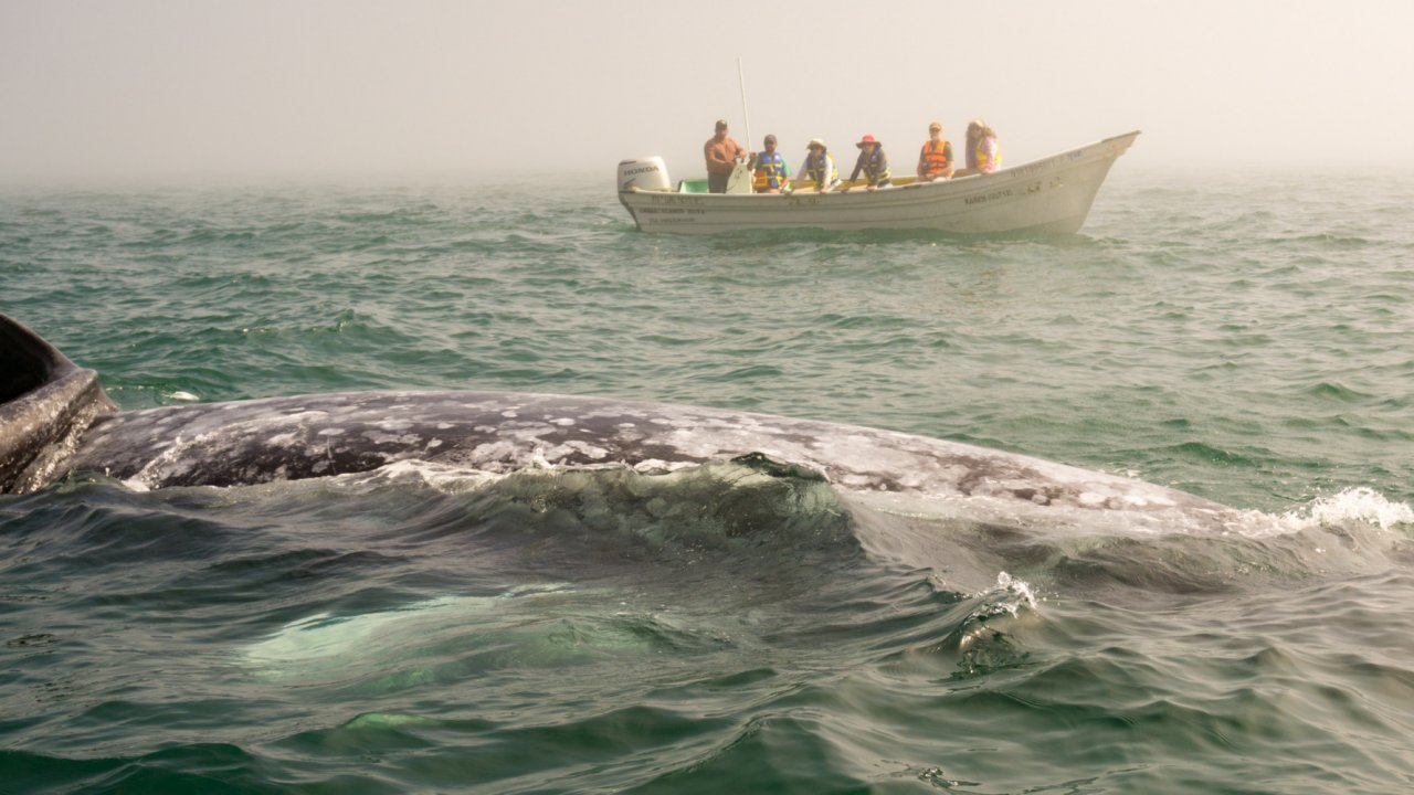 panga and gray whale in baja