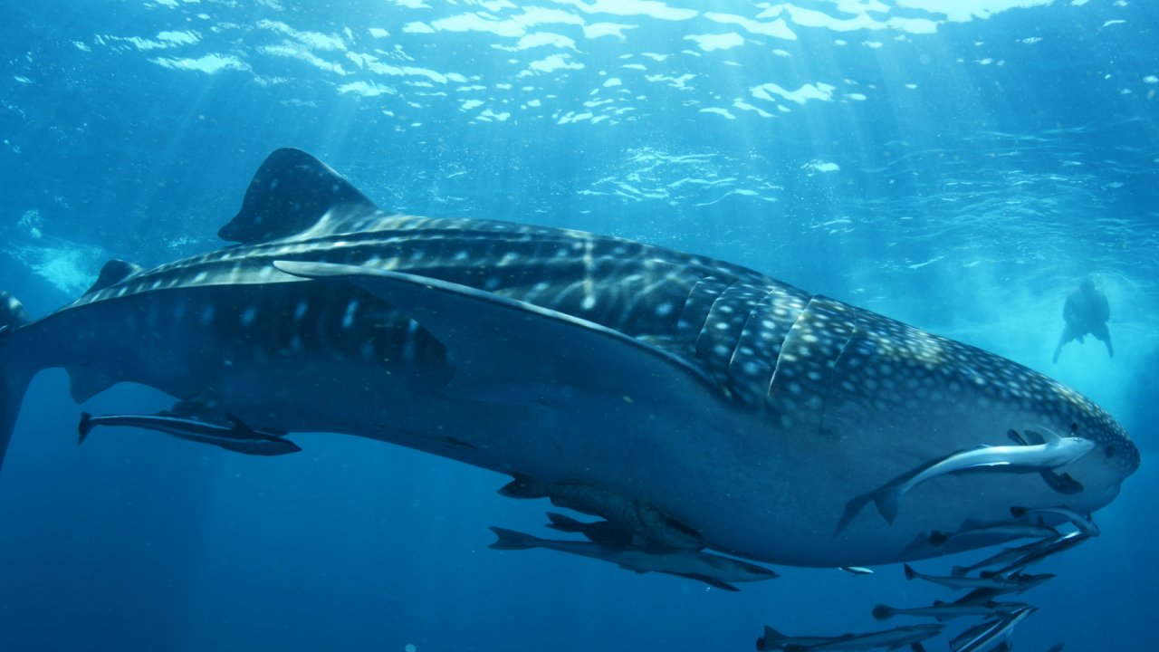 whale shark in bay of LaPaz