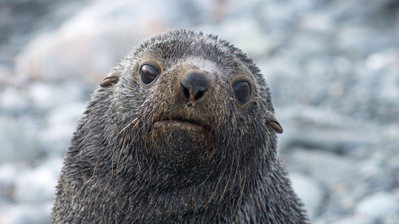 seal pup antarctica