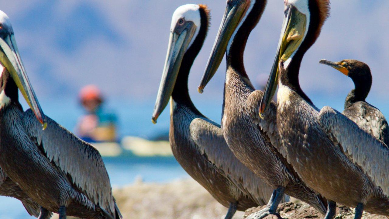 brown pelicans in baja