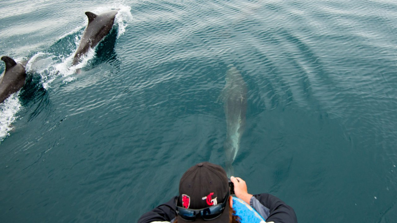dolphins swimming along with boat in baja