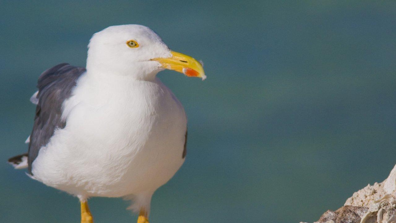 yellow legged gull baja