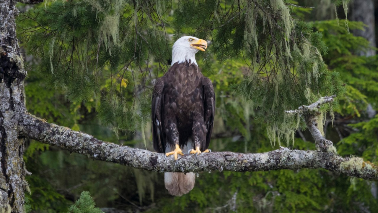 bald eagle sitting on pine tree