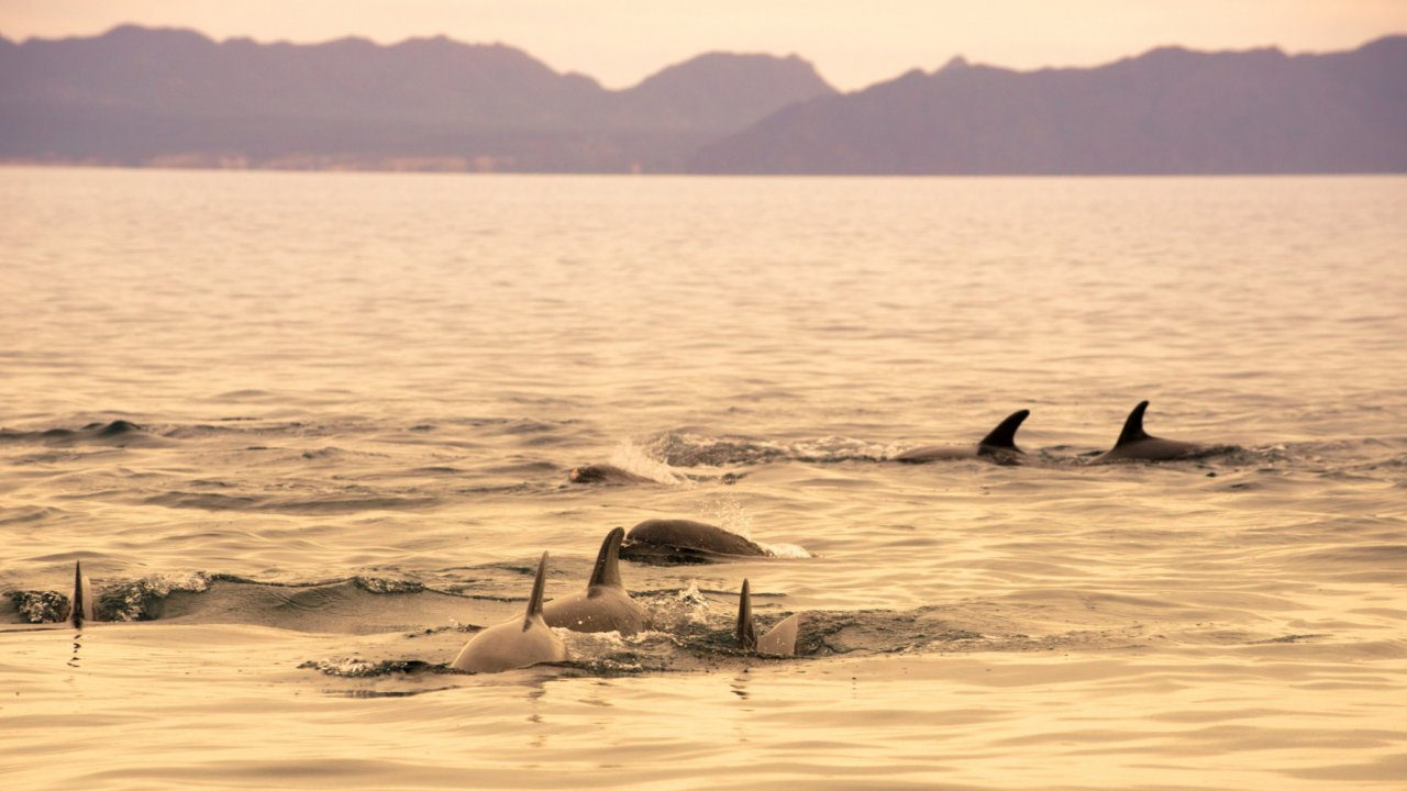 pod of dolphins in the sea of cortez