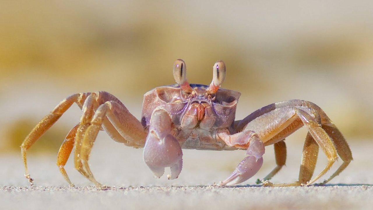 fiddler crab on baja beach