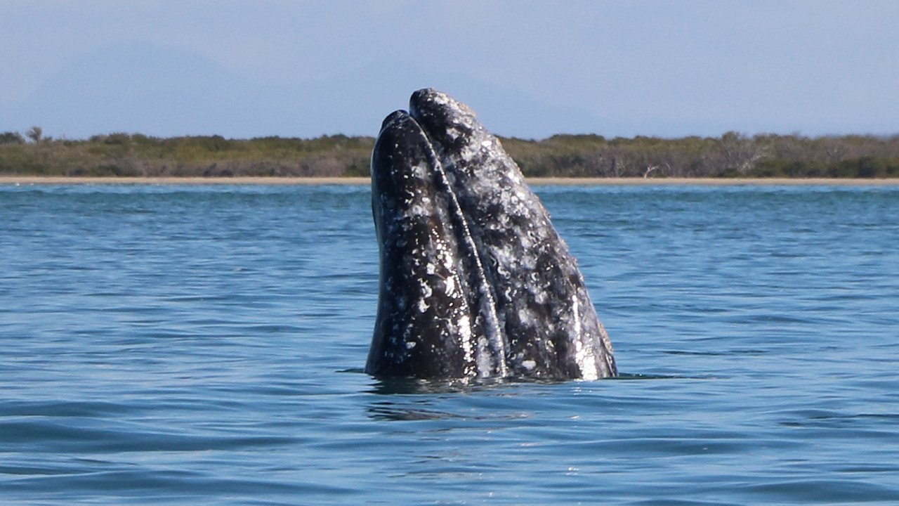 gray whale spyhopping magdalena bay baja