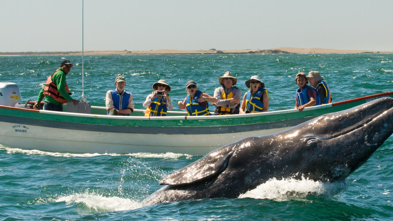 people watching gray whale from small boat