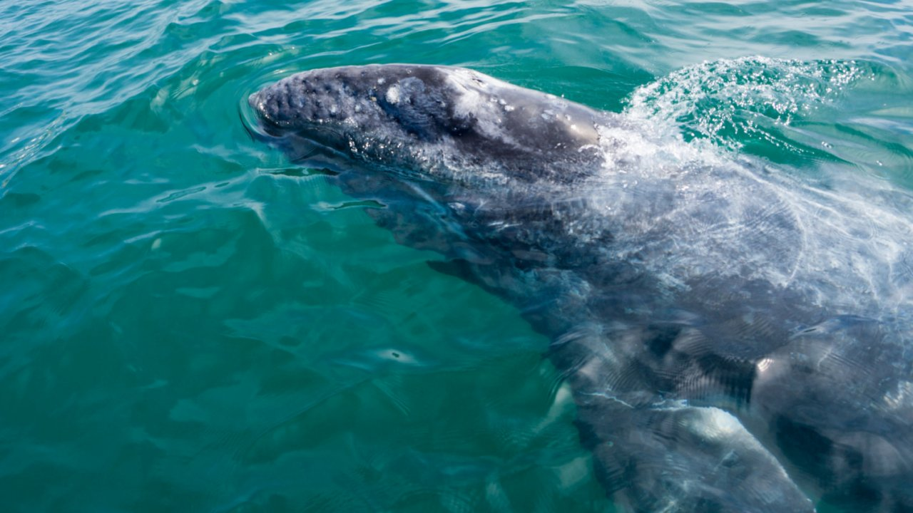gray whale in baja's pacific lagoons