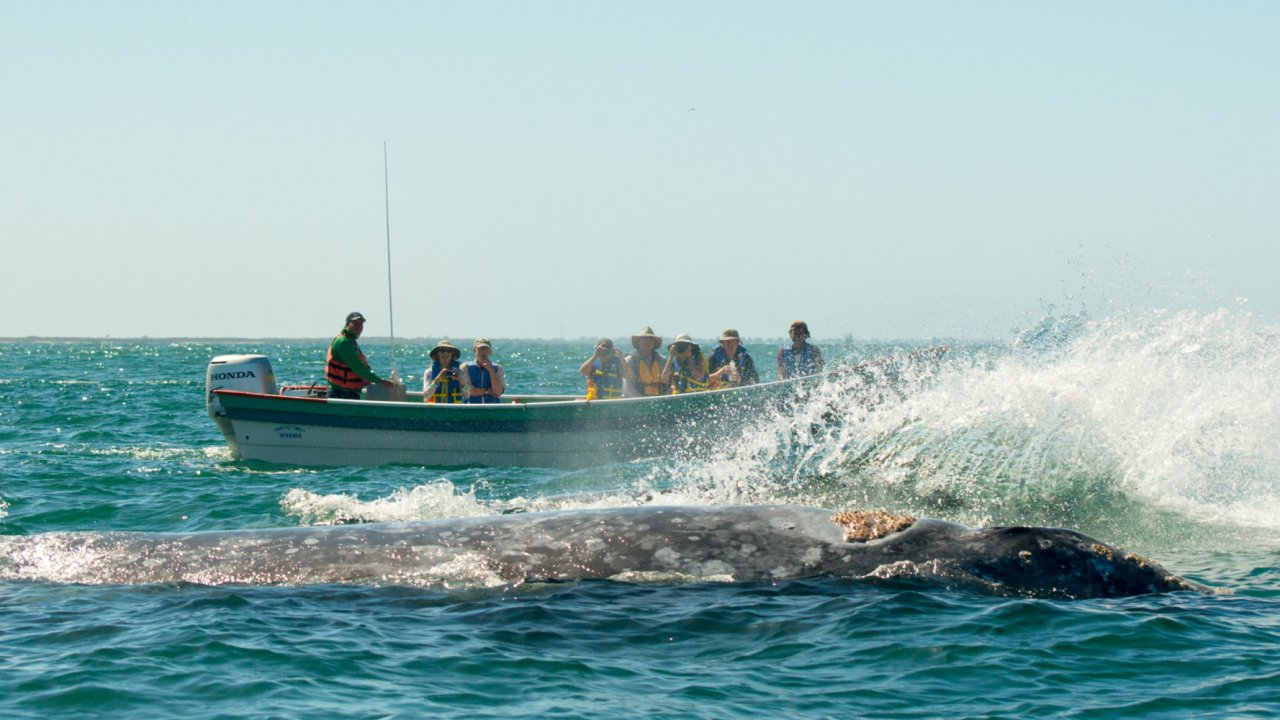 gray whale splashing boat