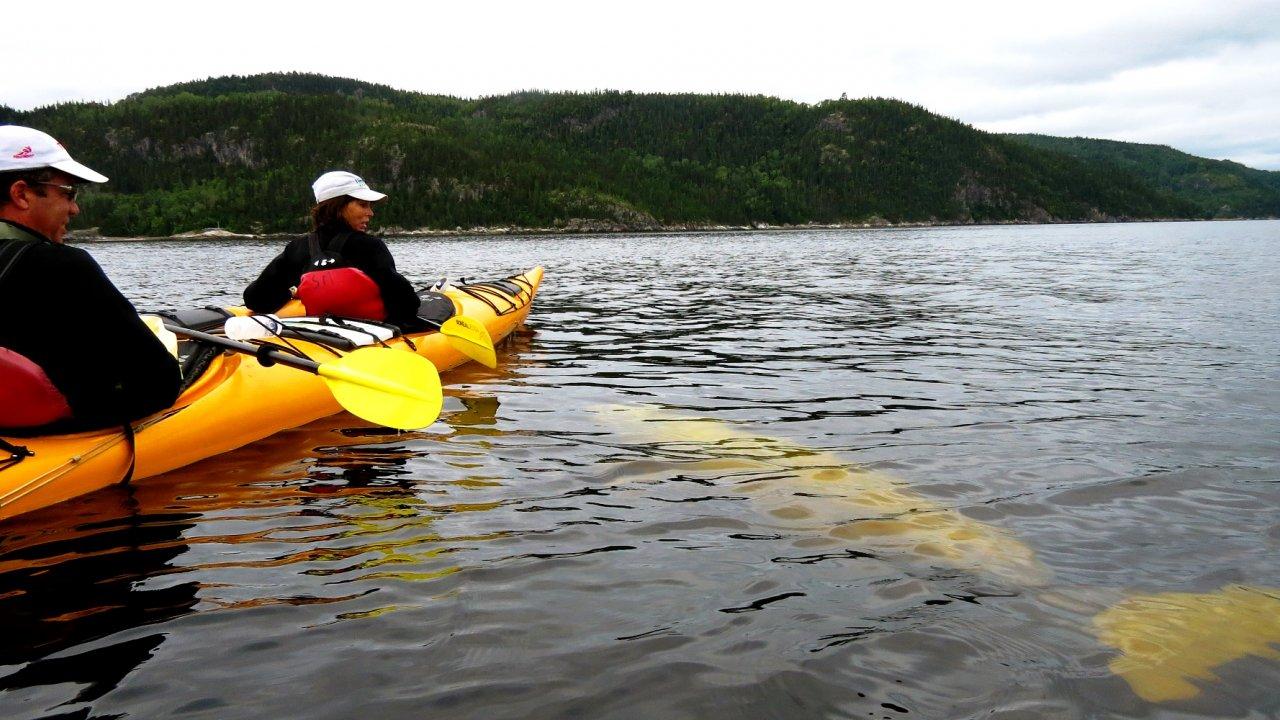 kayak with belugas in water