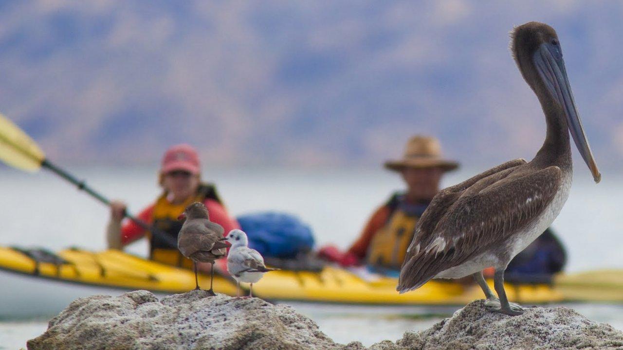 kayakers in baja near pelicans