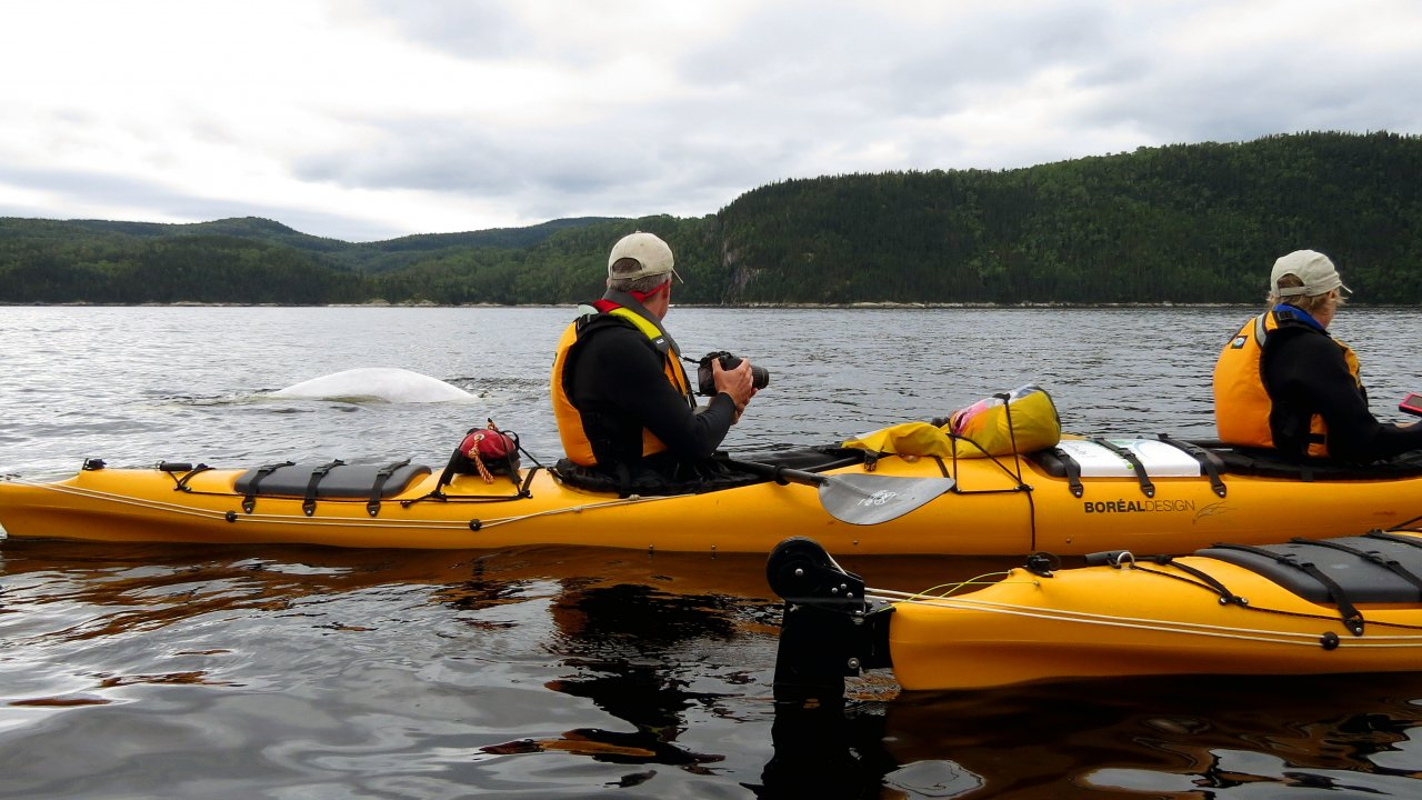 kayakers paddling with beluga whales