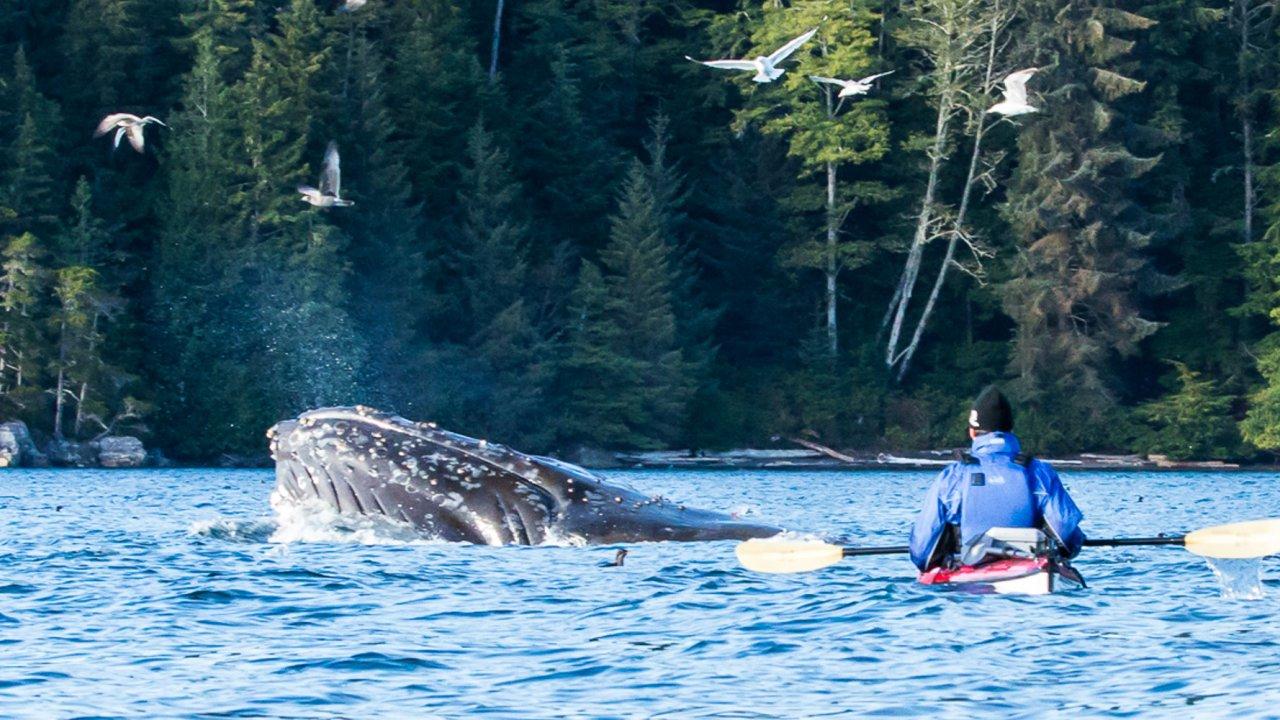 humpback whale and sea kayak