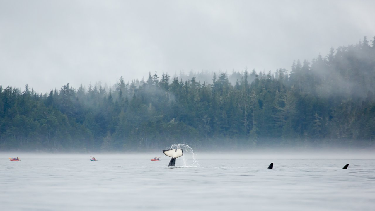 orca tail in the middle of sea kayakers