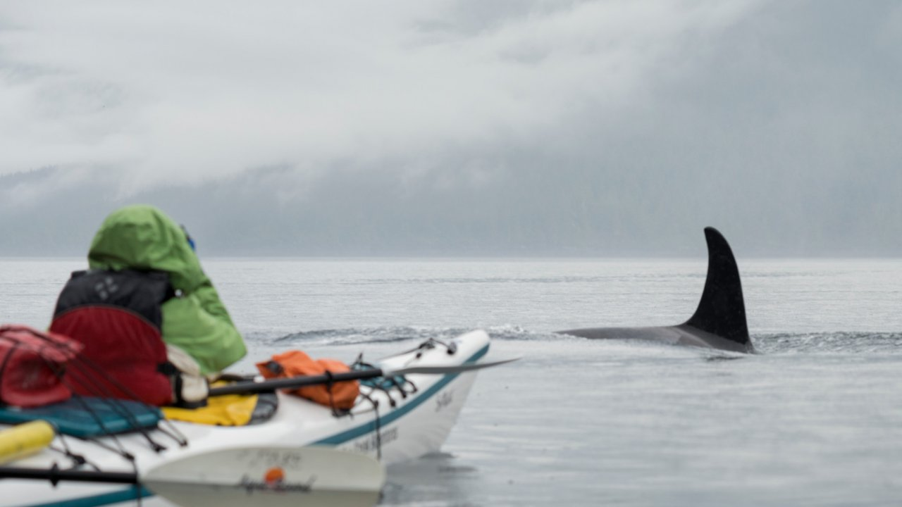 sea kayaker looking at an orca whale