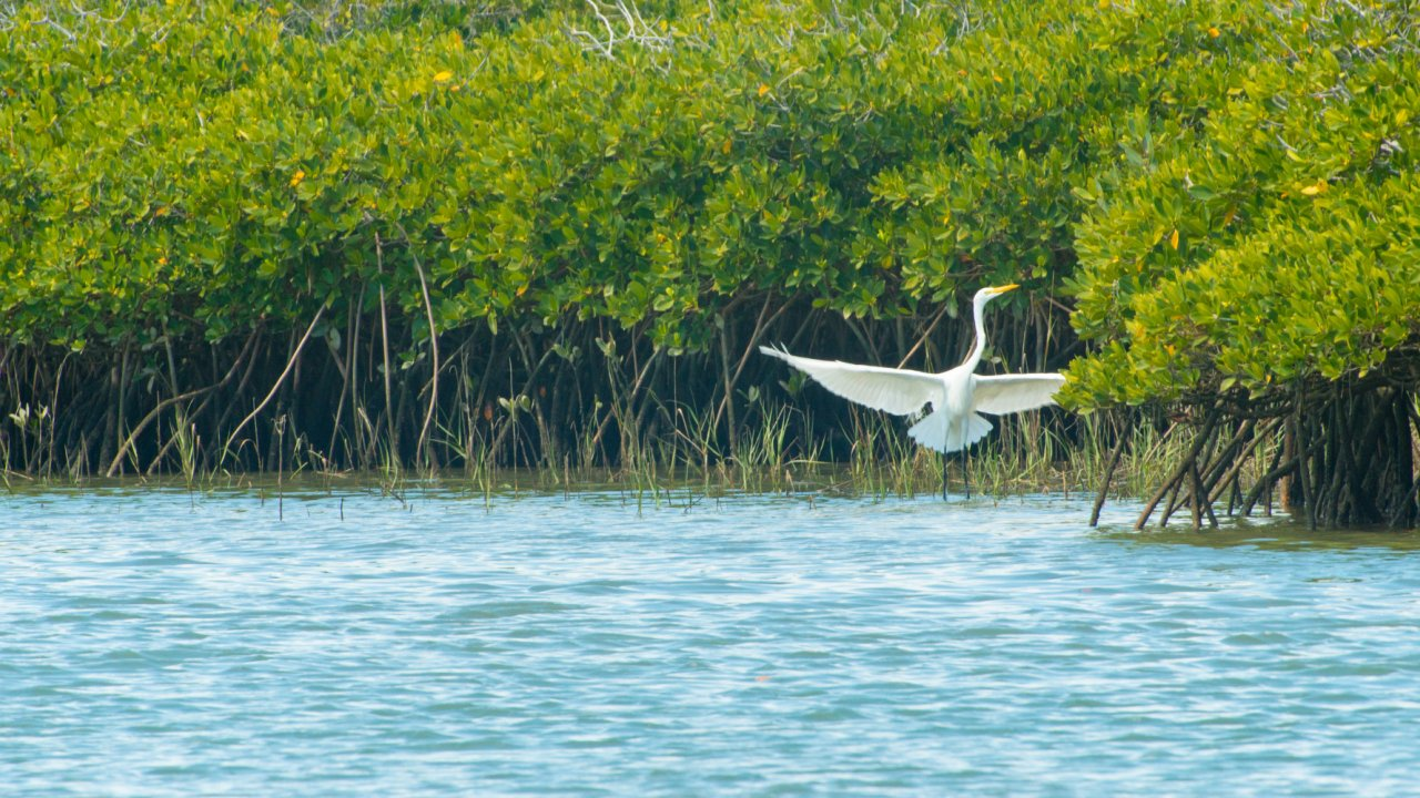 bird in san ignacio mangroves