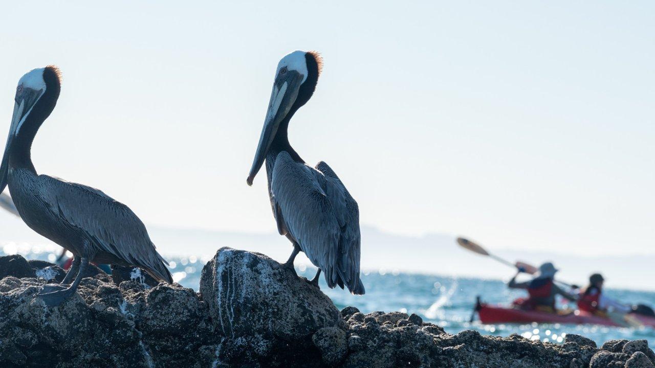 pelicans baja