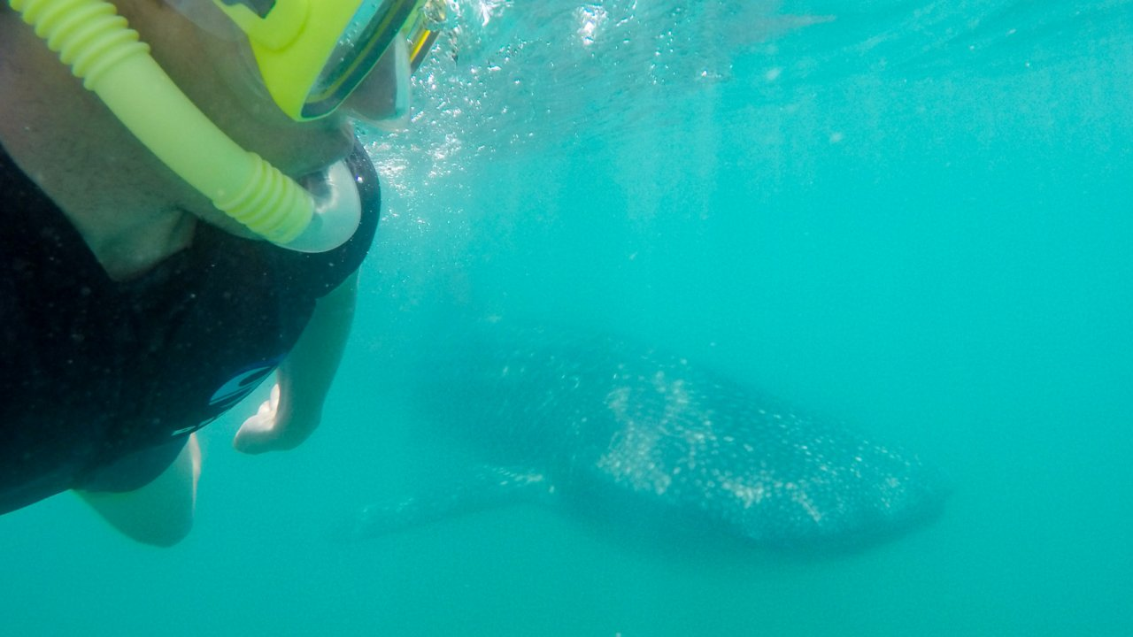 man snorkeling with a whale shark