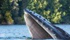 humpback baleen