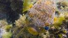 baloon fish sea of cortez