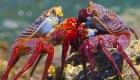sally lightfoot crabs baja