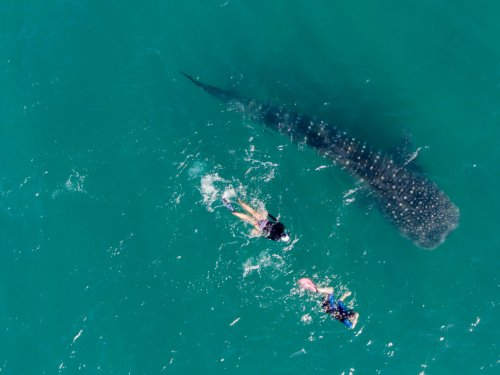 two people swimming with large whale shark