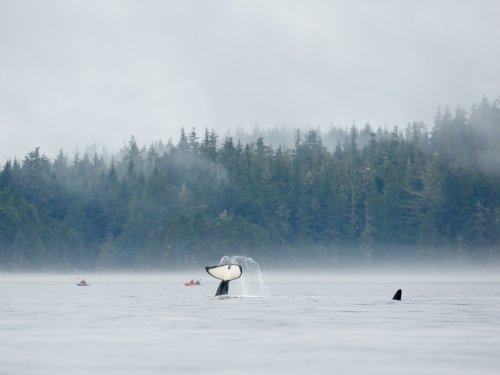 three northern resident orcas in ocean with sea kayakers