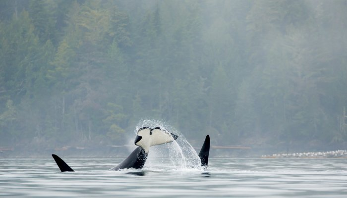 Northern Resident Orcas, BC