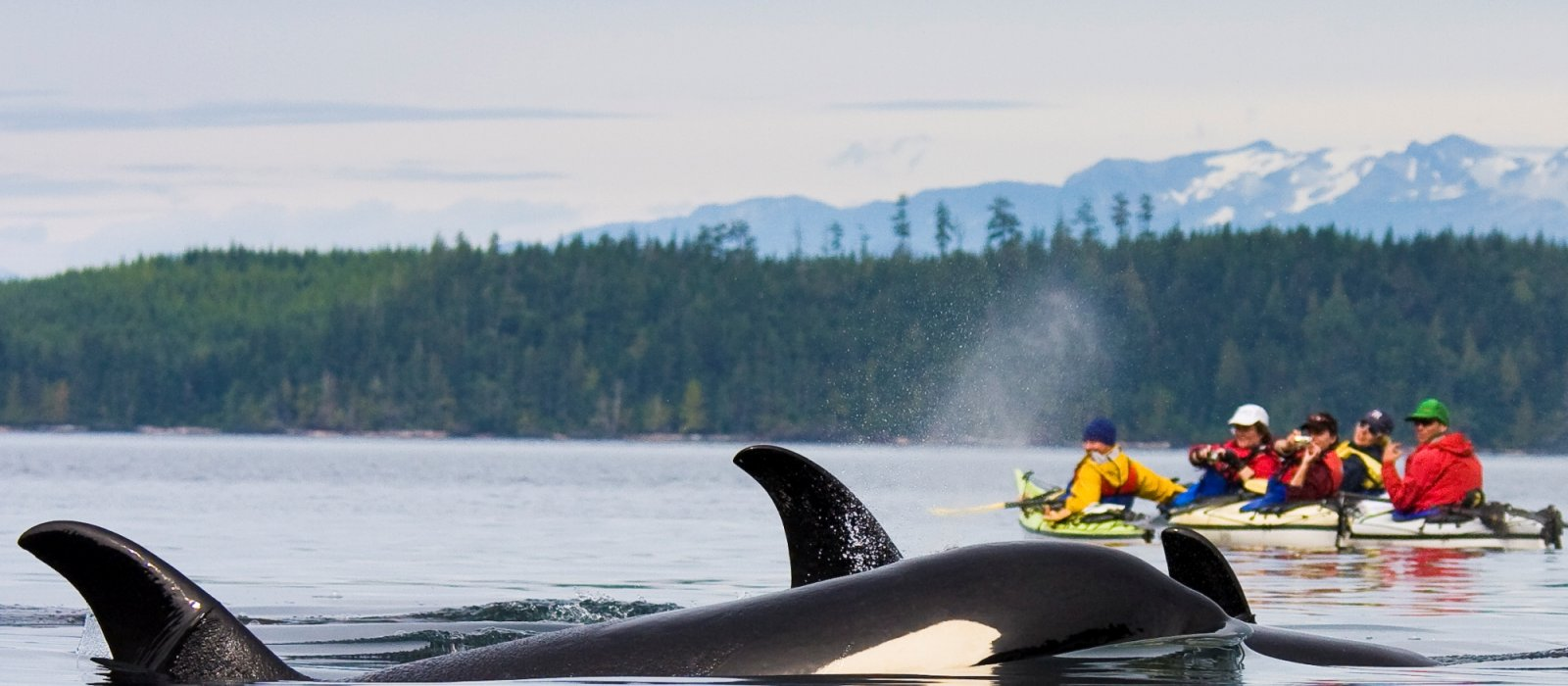 sea kayaking with orcas in BC